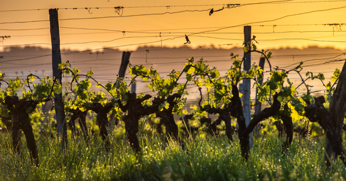bordeaux vineyard at sunset