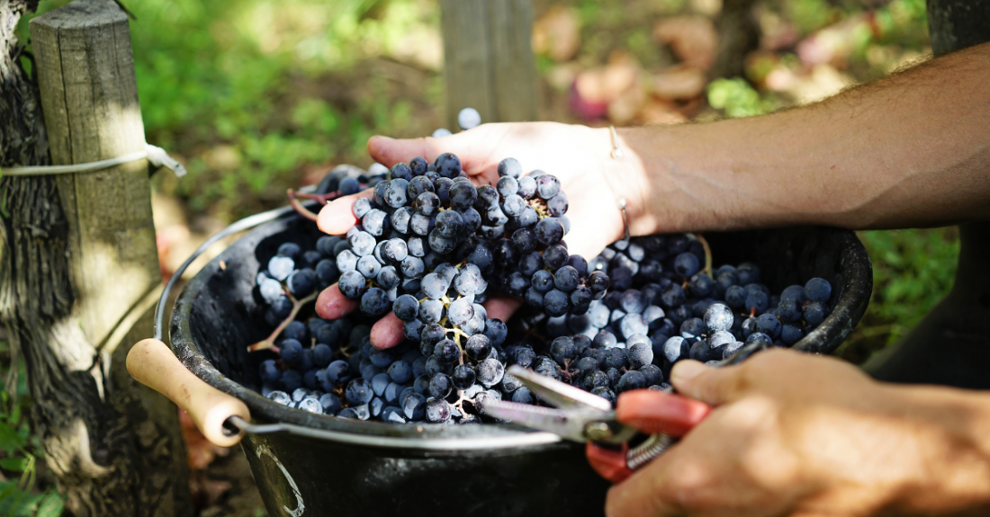hand holding a grape bunch during harvest