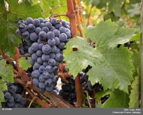 https://www.ecoleduvindebordeaux.com/new-grape-varieties/